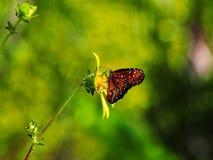 Κόκκινη και μαύρη πεταλούδα στο κίτρινο λουλούδι Στοκ Φωτογραφία
