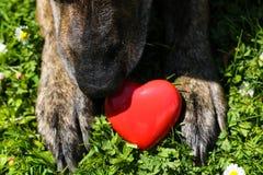 Κόκκινη καρδιά στα πόδια σκυλιών Στοκ Φωτογραφίες