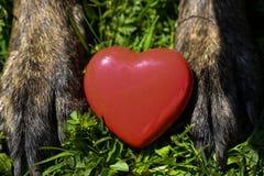 Κόκκινη καρδιά στα πόδια σκυλιών Στοκ εικόνες με δικαίωμα ελεύθερης χρήσης