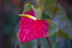 Κόκκινη καρδιά, anthurium λουλούδι Στοκ φωτογραφίες με δικαίωμα ελεύθερης χρήσης