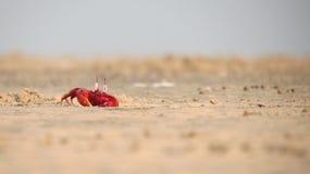 Κόκκινη κατάπληξη παραλιών θάλασσας άμμου καβουριών Στοκ Εικόνες