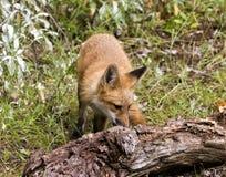 Κόκκινη κινηματογράφηση σε πρώτο πλάνο αλεπούδων Στοκ Εικόνες