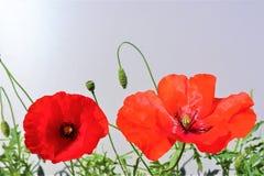 Κόκκινη κινηματογράφηση σε πρώτο πλάνο λουλουδιών παπαρουνών στοκ φωτογραφία με δικαίωμα ελεύθερης χρήσης