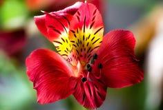 Κόκκινη κινηματογράφηση σε πρώτο πλάνο λουλουδιών της Lilly, μακρο, πράσινο κόκκινο υπόβαθρο Στοκ Εικόνες