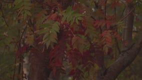 Κόκκινη κινηματογράφηση σε πρώτο πλάνο φύλλων φθινοπώρου φιλμ μικρού μήκους