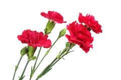 Κόκκινη κινηματογράφηση σε πρώτο πλάνο λουλουδιών γαρίφαλων Στοκ Εικόνα