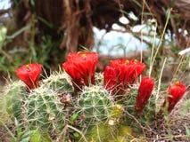 Κόκκινη κινηματογράφηση σε πρώτο πλάνο λουλουδιών κάκτων στοκ εικόνα