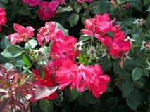 Κόκκινη κινηματογράφηση σε πρώτο πλάνο λουλουδιών με το πράσινο υπόβαθρο Στοκ Εικόνα