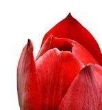 Κόκκινη κινηματογράφηση σε πρώτο πλάνο λουλουδιών τουλιπών που απομονώνεται στο άσπρο υπόβαθρο Στοκ Εικόνες