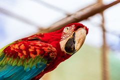Κόκκινη κινηματογράφηση σε πρώτο πλάνο παπαγάλων cockatoos Macaw ή Ara Στοκ Εικόνα