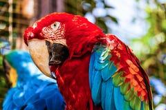 Κόκκινη κινηματογράφηση σε πρώτο πλάνο παπαγάλων cockatoos Macaw ή Ara Στοκ Εικόνες