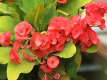 Κόκκινη κορώνα των αγκαθιών, λουλούδια αγκαθιών Χριστού με τα πράσινα φύλλα Στοκ Εικόνες
