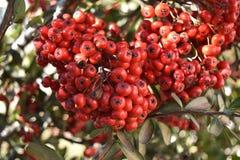 Κόκκινη μακροεντολή φρούτων Στοκ Φωτογραφία