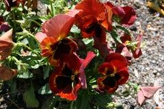 Κόκκινη μακροεντολή pansies στη EL Retiro στοκ εικόνες με δικαίωμα ελεύθερης χρήσης