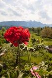 Κόκκινη μακροεντολή λουλουδιών Στοκ Εικόνες