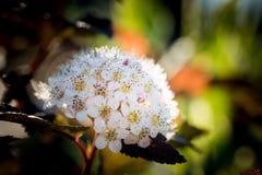 Κόκκινη μακροεντολή λουλουδιών Chokeberry Στοκ Εικόνα