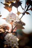 Κόκκινη μακροεντολή λουλουδιών Chokeberry Στοκ εικόνα με δικαίωμα ελεύθερης χρήσης