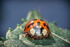 Κόκκινη μακροεντολή Ladybug Στοκ εικόνα με δικαίωμα ελεύθερης χρήσης