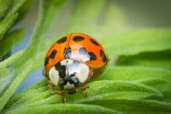 Κόκκινη μακροεντολή Ladybug Στοκ φωτογραφίες με δικαίωμα ελεύθερης χρήσης