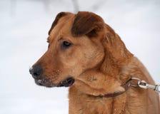 Κόκκινη μεγάλη μιγάς συνεδρίαση σκυλιών στο χιόνι Στοκ φωτογραφίες με δικαίωμα ελεύθερης χρήσης