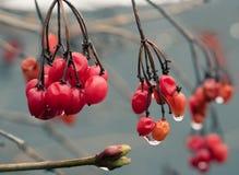 Κόκκινη μούρων Opulus Viburnum ωριμότητα διαφυγών χειμερινών μακρο μακρο σταγόνων βροχής νέα και πρώιμη άνοιξη ζωής νεολαίας Στοκ Φωτογραφίες