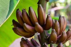 Κόκκινη μπανάνα, μούσα Nak Musaceae, ομάδα Αντιαεροπορικού Πυροβολικού Στοκ Εικόνα