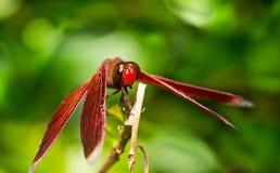 Κόκκινη μύγα δράκων (fonscolombii Sympetrum) Στοκ Εικόνες