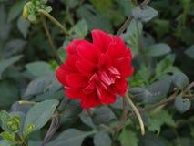 Κόκκινη ντάλια λουλουδιών στοκ εικόνες με δικαίωμα ελεύθερης χρήσης