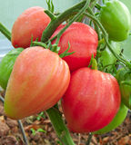 Κόκκινη ντομάτα καρδιών βοδιών Στοκ Εικόνα