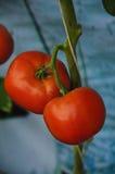 κόκκινη ντομάτα Στοκ Εικόνες