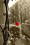 κόκκινη ντομάτα Στοκ εικόνα με δικαίωμα ελεύθερης χρήσης