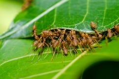 κόκκινη ομαδική εργασία φύσης μυρμηγκιών πράσινη Στοκ Φωτογραφία