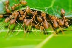 κόκκινη ομαδική εργασία φύσης μυρμηγκιών πράσινη Στοκ εικόνες με δικαίωμα ελεύθερης χρήσης
