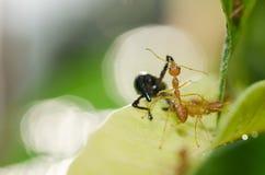 κόκκινη ομαδική εργασία φύσης μυρμηγκιών πράσινη Στοκ Εικόνες