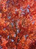 Κόκκινη ομορφιά δέντρων σφενδάμνου στοκ εικόνες