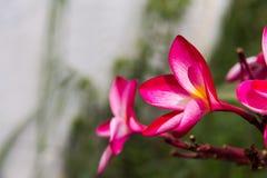 Κόκκινη ομορφιά λουλουδιών Plumeria στη φύση, λουλούδι frangipani Στοκ Εικόνες