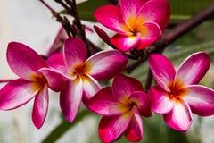Κόκκινη ομορφιά λουλουδιών Plumeria στη φύση, λουλούδι frangipani Στοκ εικόνα με δικαίωμα ελεύθερης χρήσης
