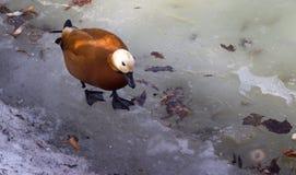 Κόκκινη πάπια στον πάγο Στοκ εικόνες με δικαίωμα ελεύθερης χρήσης