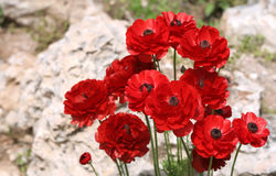 κόκκινη πέτρα λουλουδιώ&nu Στοκ εικόνες με δικαίωμα ελεύθερης χρήσης
