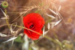 Κόκκινη παπαρούνα και άγρια χλόη στον τομέα Στοκ εικόνες με δικαίωμα ελεύθερης χρήσης