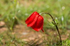 Κόκκινη παπαρούνα με τις πτώσεις Στοκ εικόνα με δικαίωμα ελεύθερης χρήσης
