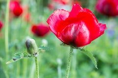Κόκκινη παπαρούνα με τον οφθαλμό λουλουδιών Στοκ Φωτογραφία