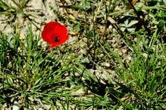 Κόκκινη παπαρούνα που απομονώνεται την ηλιόλουστη ημέρα Στοκ Εικόνες