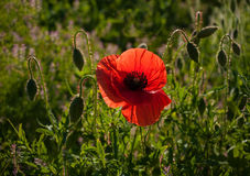 Κόκκινη παπαρούνα σε ένα λιβάδι με τη δροσιά, που φωτίζεται από τον ήλιο το πρωί Στοκ φωτογραφία με δικαίωμα ελεύθερης χρήσης