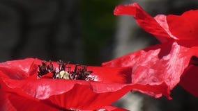 Κόκκινη παπαρούνα σε ένα πράσινο υπόβαθρο Όμορφη φρεσκάδα παπαρουνών απόθεμα βίντεο
