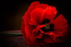 Κόκκινη παπαρούνα στοκ φωτογραφία
