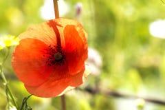 Κόκκινη παπαρούνα Στοκ εικόνα με δικαίωμα ελεύθερης χρήσης