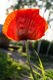 Κόκκινη παπαρούνα Στοκ Φωτογραφίες