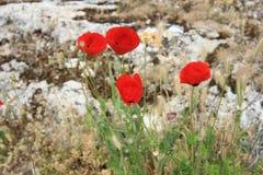 Κόκκινη παπαρούνα Στοκ φωτογραφία με δικαίωμα ελεύθερης χρήσης