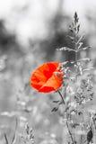Κόκκινη παπαρούνα Wildflower σε ένα υπόβαθρο χλόης Γραπτή εικόνα Στοκ φωτογραφία με δικαίωμα ελεύθερης χρήσης